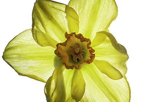 Daffodil  by Sandi Kroll