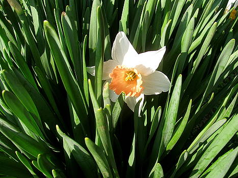Sherri Williams - Daffodil