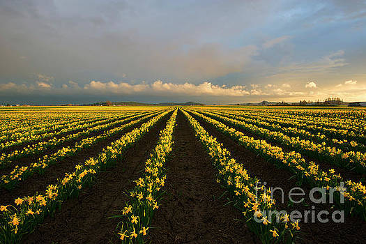 Daffodil Storm by Mike Dawson