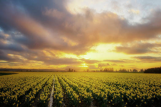 Daffodil Sunset by Ryan Manuel