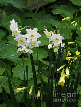 Daffodils And Oxalis by James B Toy