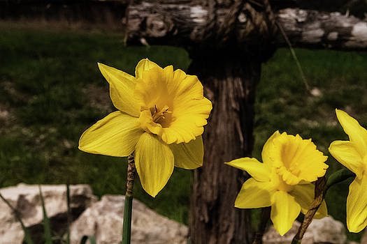 Daffodils by Black September