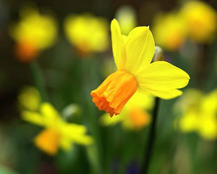 Daffodils by Bob Stevens