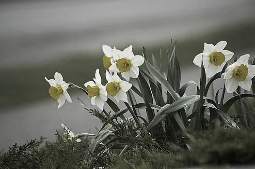 Elaine Mikkelstrup - Daffodils Desaturated