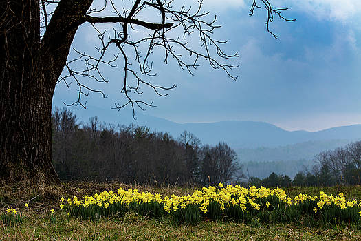 Daffodils in Cades Cove in February by Carol Mellema