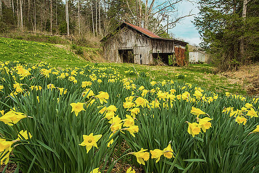 Daffodils In Field By Old Barn Smoky Mountains by Carol Mellema