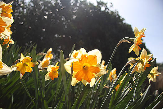 Daffodils in the Sun by Eric Killian