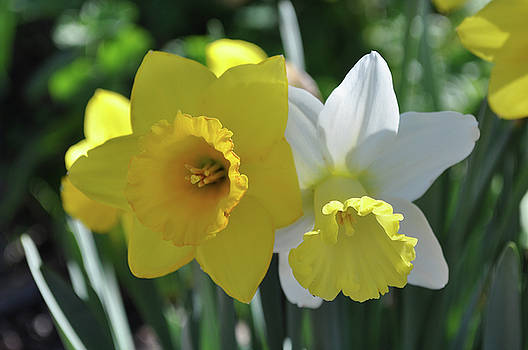 Daffodils by Larry Holt