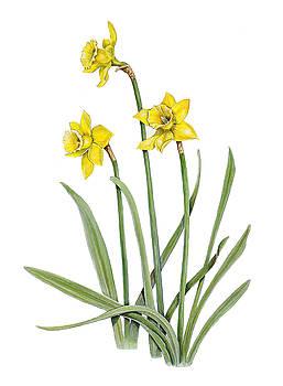 Daffodils by Linda Wolfe