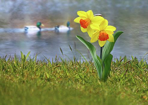Daffodils by Nina Bradica