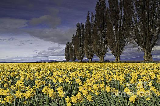Daffodils by Tim Hauf