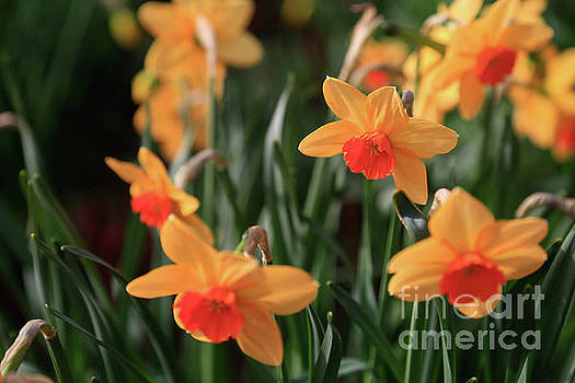 Daffodils by Tracy Hall
