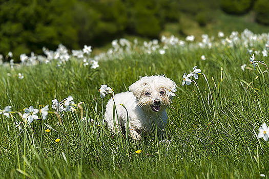 Enrico Pelos - DAFFODILS WHITE BLOSSOMING WITH LITTLE WHITE LILLY 2