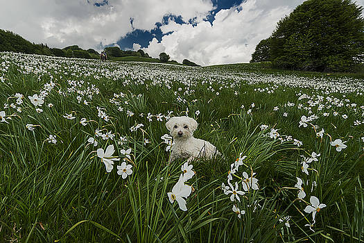 Enrico Pelos - DAFFODILS WHITE BLOSSOMING WITH LITTLE WHITE LILLY 3