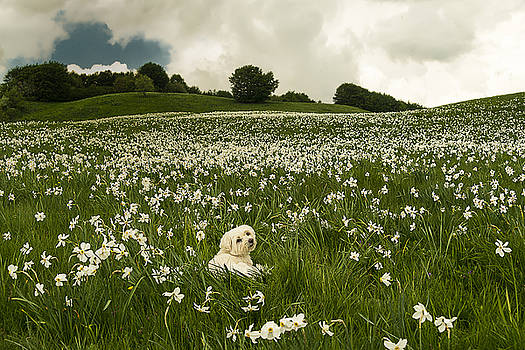 Enrico Pelos - DAFFODILS WHITE BLOSSOMING WITH LITTLE WHITE LILLY 6