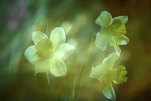 Daffodils1 by Loni Collins