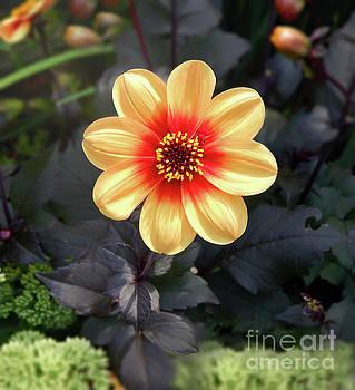 Dahlias Flower - Good Morning Sunshine by Dave Nevue