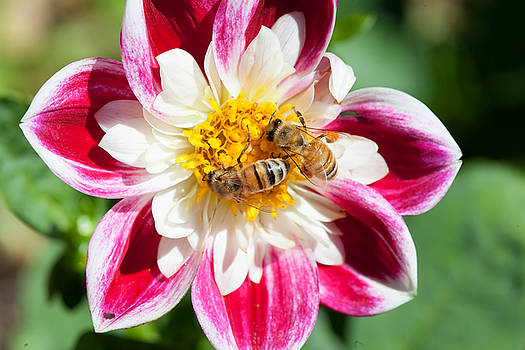 Dahlia Bee Buffet by Judy Wright Lott