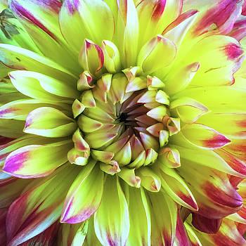 Dahlia Close-up by Andrew Soundarajan