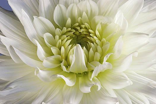 Dahlia flower 01 by Nick Kurzenko