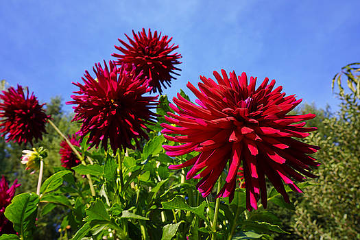 Baslee Troutman Fine Art Photography - Dahlia Flower Garden Art Prints Photography