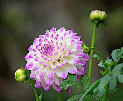 Dahlia Flower by Jessica Nguyen
