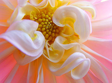 Baslee Troutman - Dahlia Flower Macro Pink White Dahlias Floral Baslee Troutman
