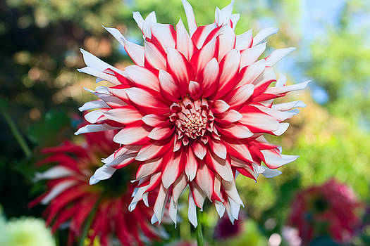 Dahlia Flower Red and White by Stacey Lynn Payne