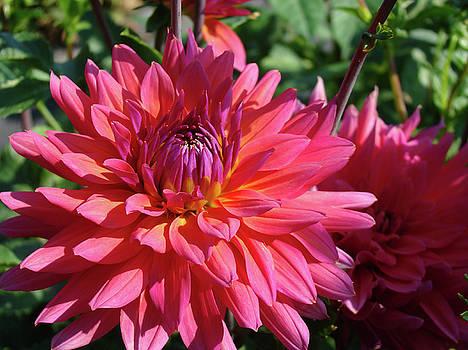Baslee Troutman - DAHLIA FLOWERS Garden Art Prints Baslee Troutman