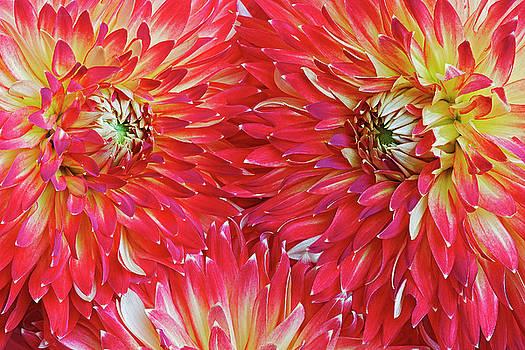 Dahlia flowers by Nick Kurzenko
