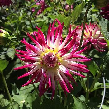 Dahlia Garden by William Sullivan