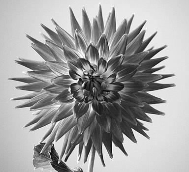 Rosanne Jordan - Dahlia in Black and White
