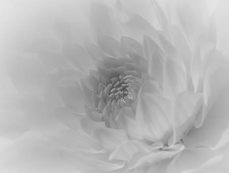 Dahlia in Dreamy White by Kelly McNamara