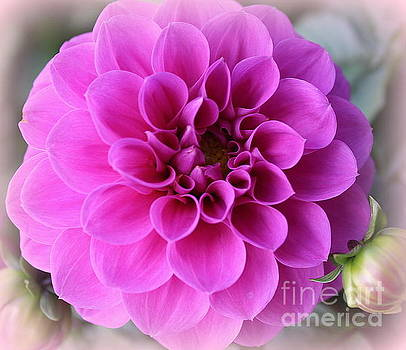 Dahlia Lovely in Magenta by Dora Sofia Caputo Photographic Art and Design