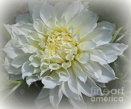 Dahlia Lovely in White by Dora Sofia Caputo Photographic Design and Fine Art