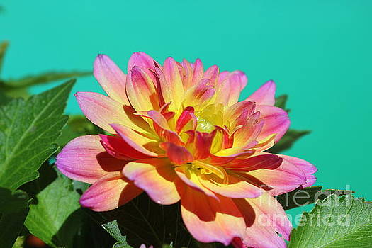 Dahlia Pretty in Pink and Yellow by Dora Sofia Caputo Photographic Design and Fine Art