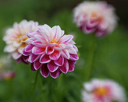 Dahlia by Sharon Wilkinson