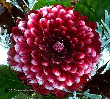 Dahlia Supreme by Norma Boeckler
