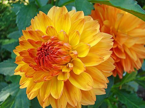 Baslee Troutman - DAHLIAS Art Prints Orange DAHLIA FLOWERS Baslee Troutman