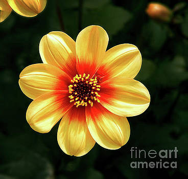 Dahlias Flower - Yellow Tones by Dave Nevue