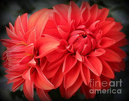 Dahlias Radiant in Red by Dora Sofia Caputo Photographic Art and Design