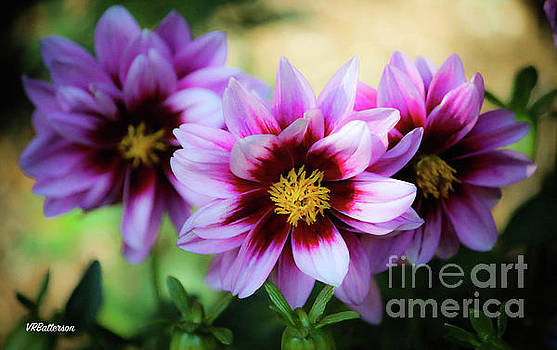 Dahlias by Veronica Batterson