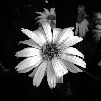 Dainty Daisy by Alyson Innes