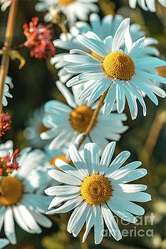 Marc Daly - Daisies 21