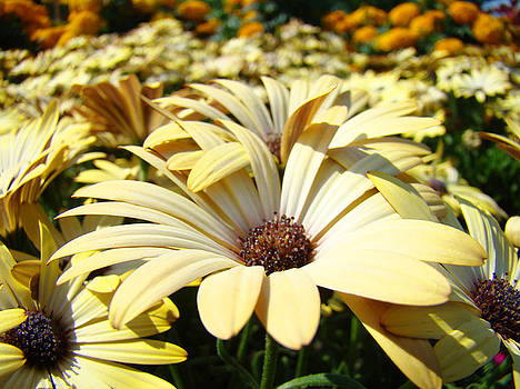 Baslee Troutman - Daisies Flowers Landscape art prints Daisy Floral Baslee Troutman