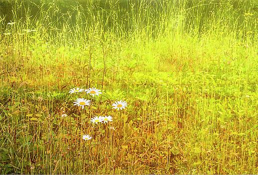 Daisies by Gordon Ripley