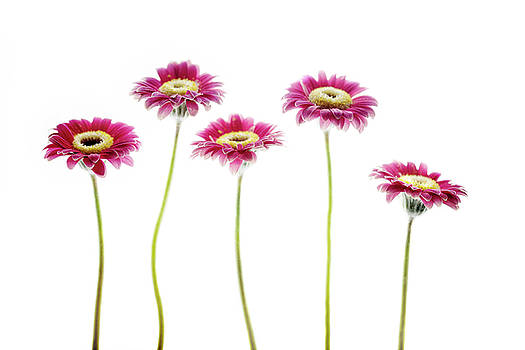 Daisies in a Row by Rebecca Cozart