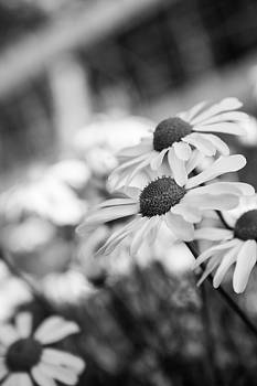 Daisies by Nigel Spencer