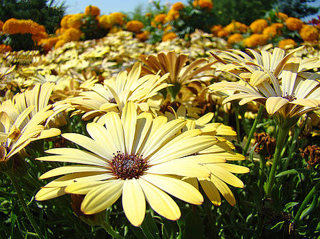 Baslee Troutman - Daisies Yellow Daisy Flowers Garden art prints Baslee Troutman