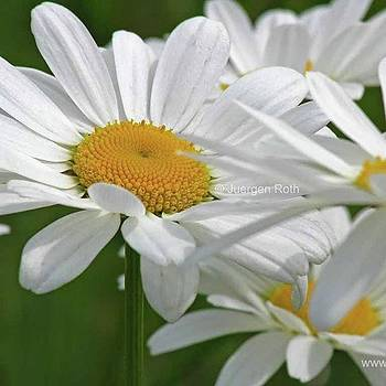 Daisy - Www.rothgalleries.com by Juergen Roth